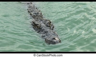crocodile swims in the lake water - Crocodile floating in...