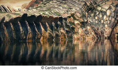 Crocodile Tail Reflecting In Water Closeup