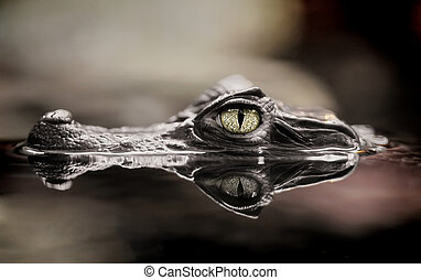 Crocodile - The small caiman in water
