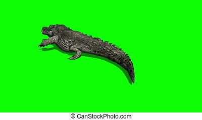 crocodile walking - green screen - you can put gigantic...