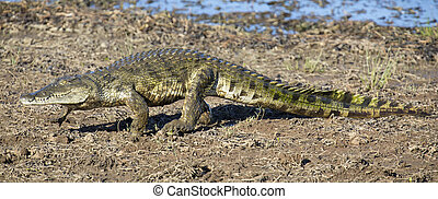 Crocodile walking on the shore of a lake to find spot for resting in the sun