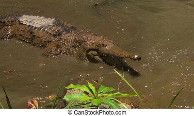 Crocodile walking swiftly in water - A freshwater crocodile...