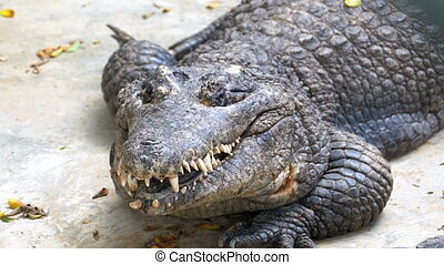 Crocodile with an open mouth lies on the ground in the zoo. Thailand. Asia.