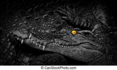 Crocodile With Fiery Eyes Next To Mother - Young crocodile...