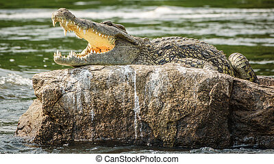 Crocodile with open mouth in Nile river over rock