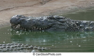 Crocodile with open mouth in water - Crocodile in the water...