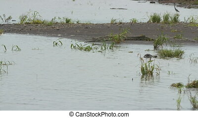 Crocodiles and Birds, Wisirare Reserve, Colombia - Wide high...