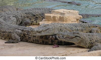 Crocodiles at the zoo. Reptiles swimming and getting food -...