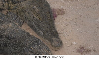 Crocodiles competing for food inside the group - Several...