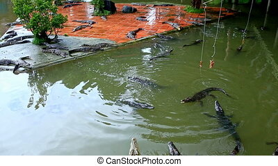 Crocodiles Eat Meat from Rods on Farm in Tourist Park in Vietnam