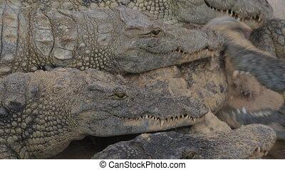Crocodiles eating meat - Crocodiles fighting for meat inside...