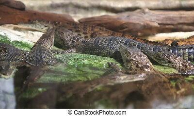 Crocodiles are reptiles