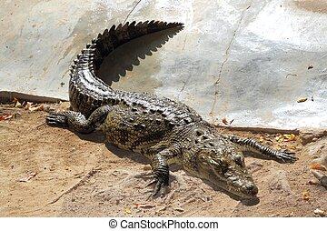 Crocodiles having a sun bath in South America - Crocodile...