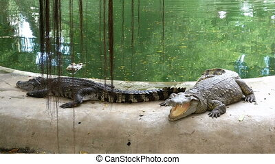 Crocodiles Lie near the Water of Green Color. Muddy Swampy...