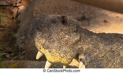 Crocodile's Open Mouth And Pulsing Nostrils - Steady, close...