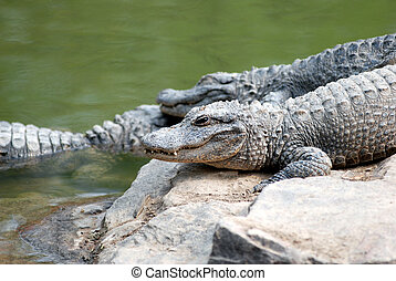 crocodiles resting in shanghai zoo