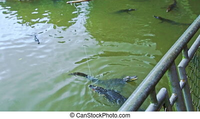 Crocodiles Swim in Farm Pond Visitor Feeds with Rod from Bridge
