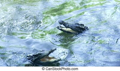 Crocodiles swimming in river water. Close up feeding alligators swimming in pond at crocodile farm.