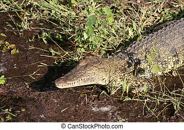 crocodilo, cima fim