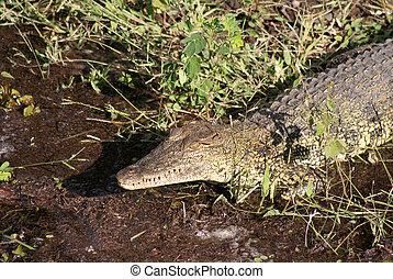 crocodilo, cima