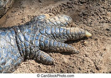 crocodilo, garras, cima