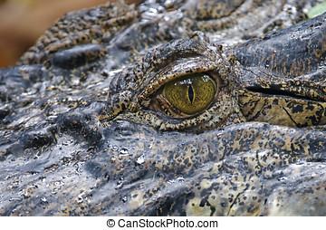 crocodilo, olho, cima fim