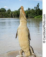 crocodilo, pular, rio