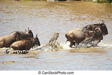 (crocodylus, bluewildebeest, ワニ, niloticus), グラブ, つらい