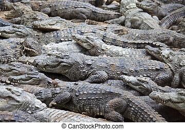 (crocodylus, cocodrilo, pantano, palustris), o, asaltador