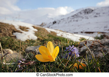 crocus and hyacinth on the mountain