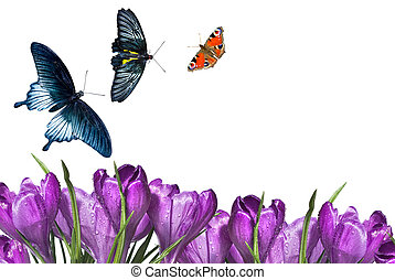 crocus bouquet with butterflies isolated on white