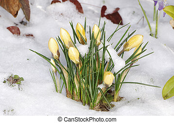 Crocus buds in the snow