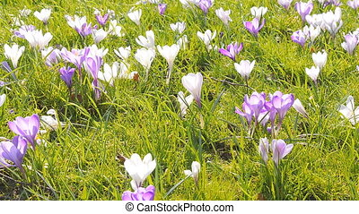 Field of crocus in city park close up pan camera