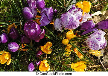 Crocus - crocus in garden