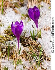crocus, deux, neige, printemps