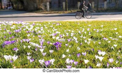 Crocus field bicycle rider park