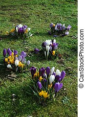 crocus field - spring flowers in bloom