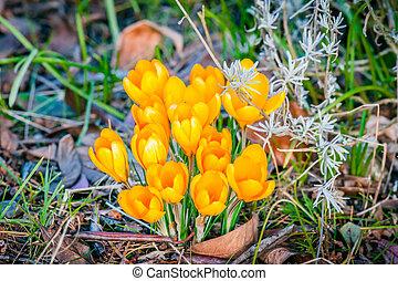 Crocus flower bouquet in a garden