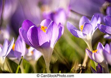 crocus flower in spring