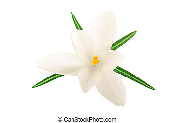 Crocus flower isolated on white background with copy space for your text