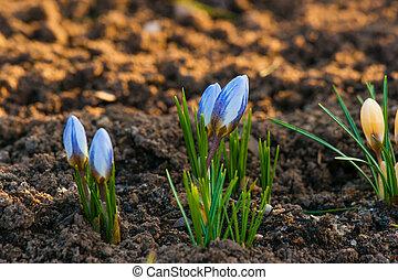 Crocus flowers blooming in a garden
