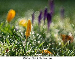 crocus flowers budding