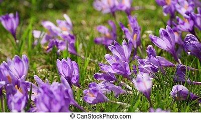 Crocus flowers field - Violet crocus flowers field at spring...