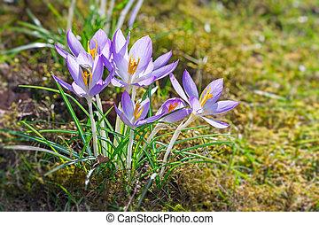 Crocus flowers in a meadow