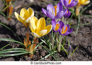 Crocus flowers in spring