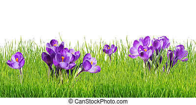 Crocus Flowers Isolated