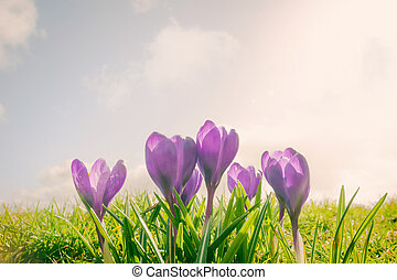 Crocus flowers on a meadow