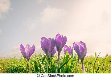 Crocus flowers on a meadow