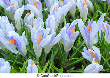 Crocus flowers on a spring meadow. Beauty in nature.
