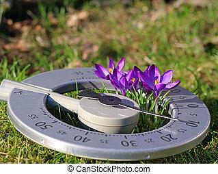 crocus, gros plan, concept, espace, pourpre, printemps, thermomètre, pré, levée, températures, fleurir, copie, début